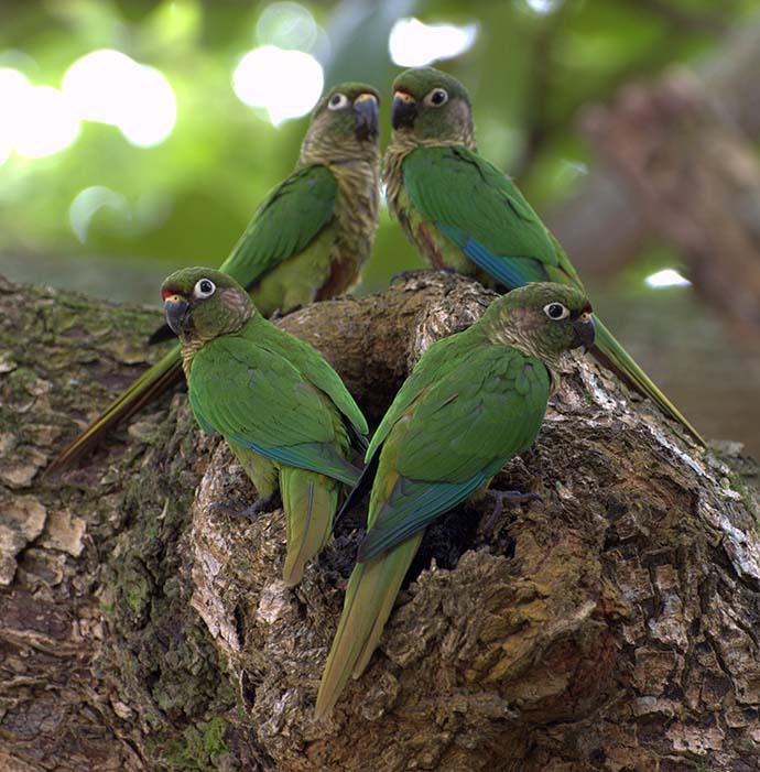 Conuro ventre rosso - Maroon-bellied Parakeet/Conure (Pyrrhura frontalis)