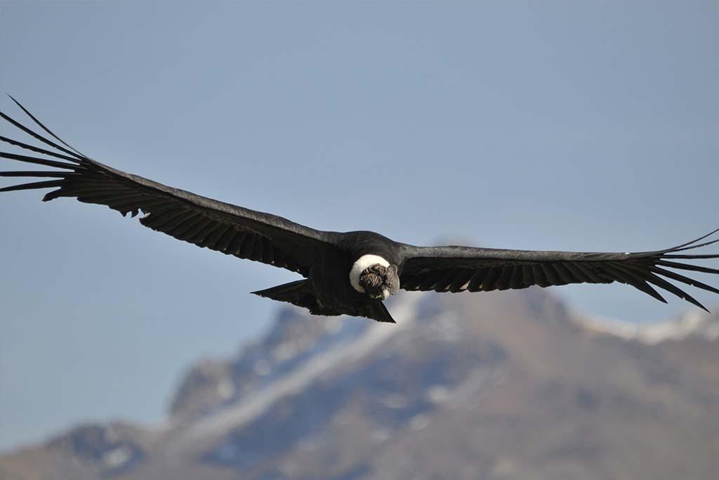 Condor delle Ande - Andean Condor (Vultur gryphus)