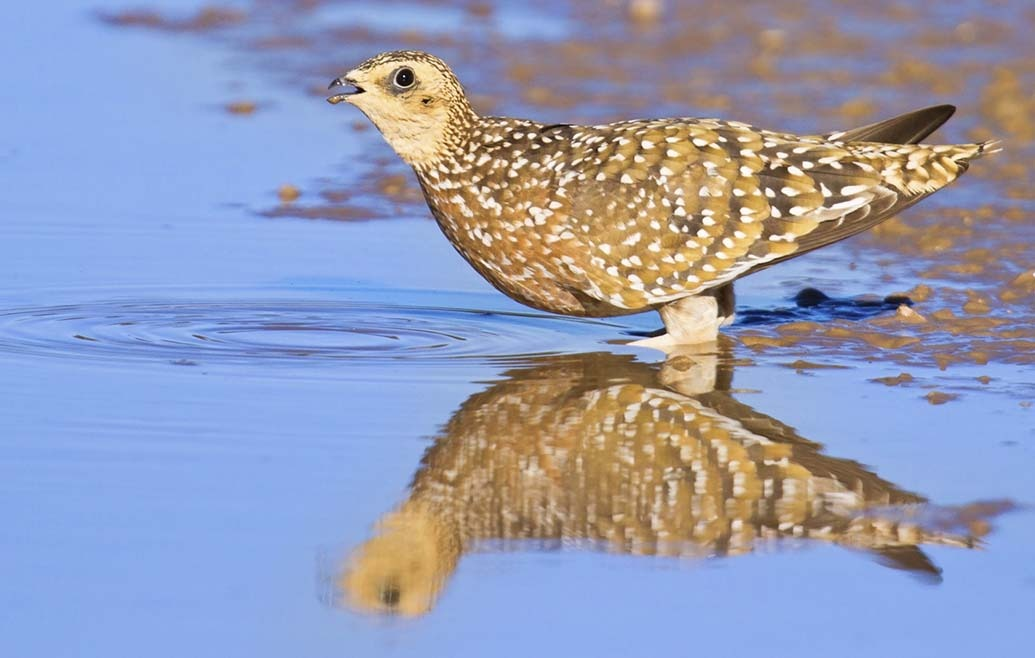 Namaqua Sandgrouse1