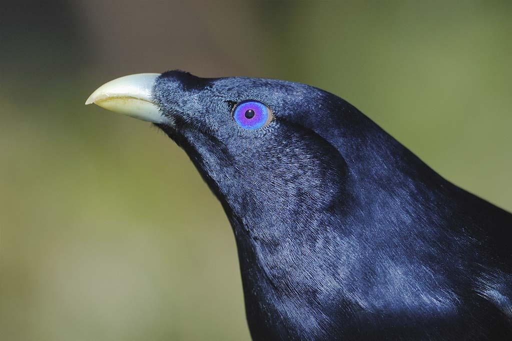 Male Satin Bowerbird (Ptilonorhynchus violaceu)
