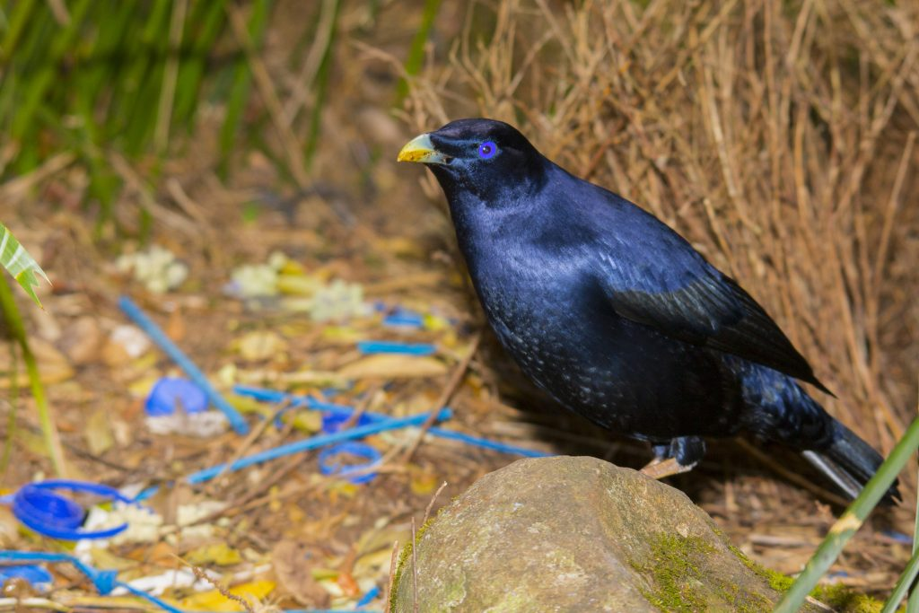Satin Bowerbird at his bower