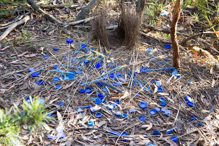 Immature Satin Bowerbird nest and collection of blue objects it's made as part of an attracting a mate ritual