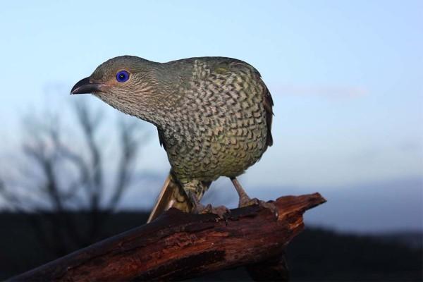 BOWERBIRD2