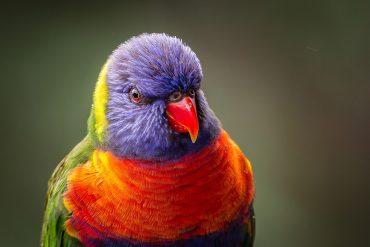 Close-Up Of Rainbow Lorikeet