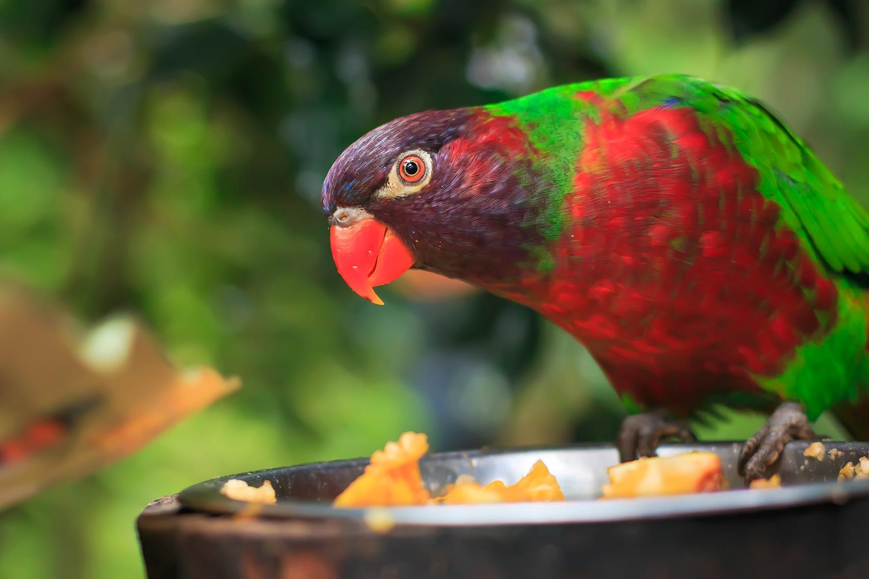 Closeup of A single parrot (Trichoglossus haematodus, lorius chlorocercus)