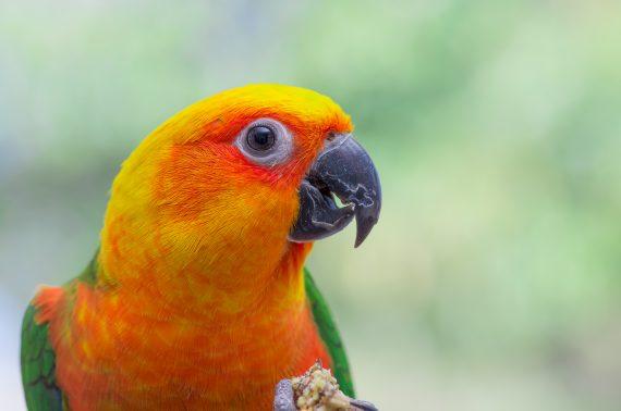 Sun Jenday conure parrot hybrid