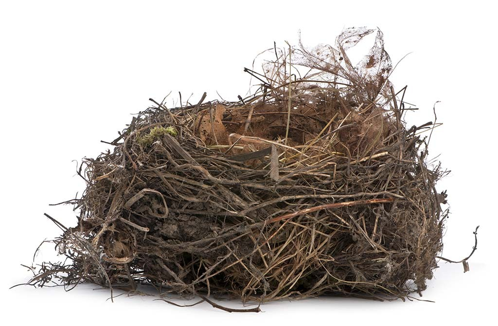 Focus stacking, a Nest of Common Blackbird