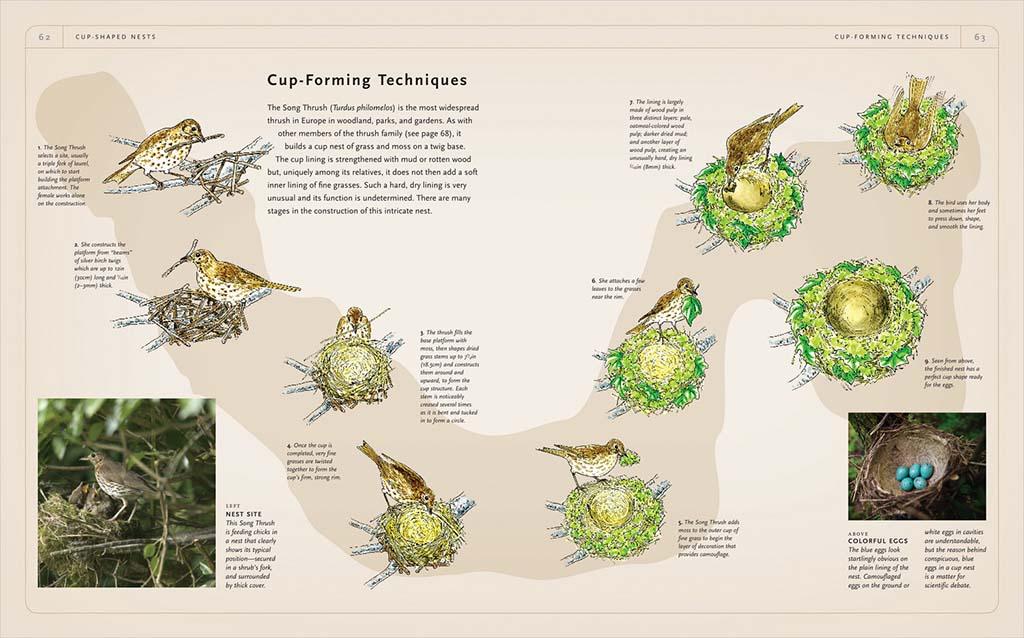 Fasi costruttive del nido del tordo bottaccio (Turdus philomenus). Nido mimetico a coppa con uova azzurre. Non è ancora chiaro il perchè di uova azzurre in un nido a coppa.