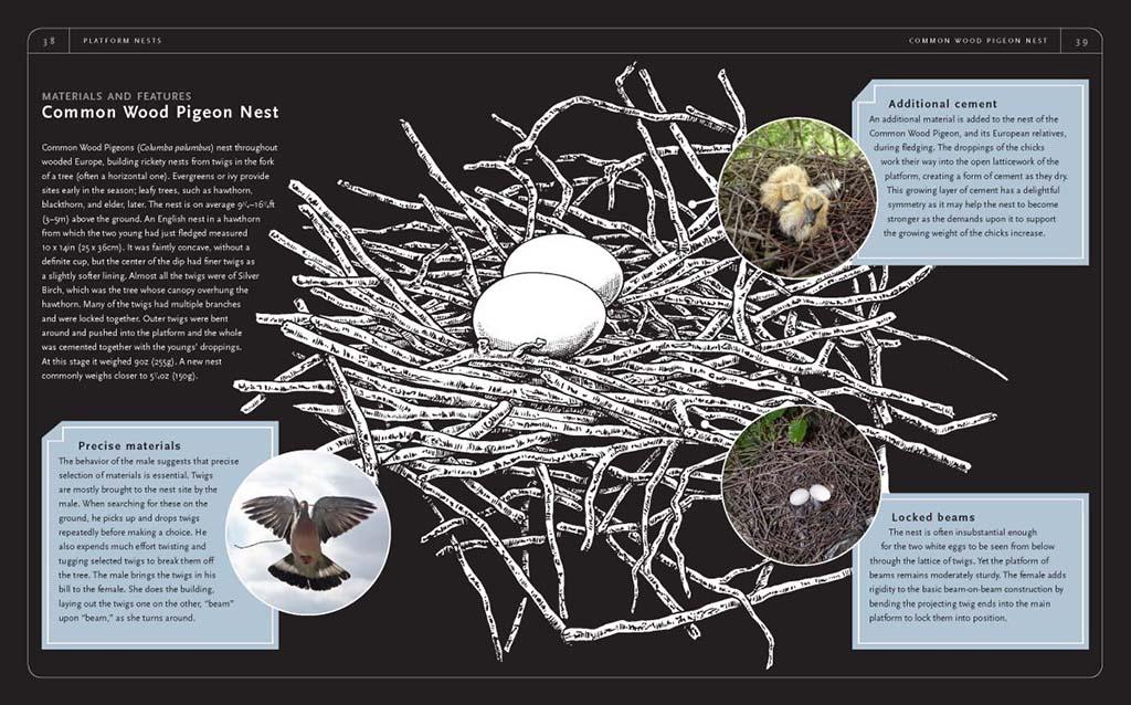 Nido di colombaccio (Columba palumbus). Il maschio cerca in modo accurato ramoscelli sia al suolo che direttamente sugli alberi, è compito della femmina utilizzare questo materiale per comporre il nidi.