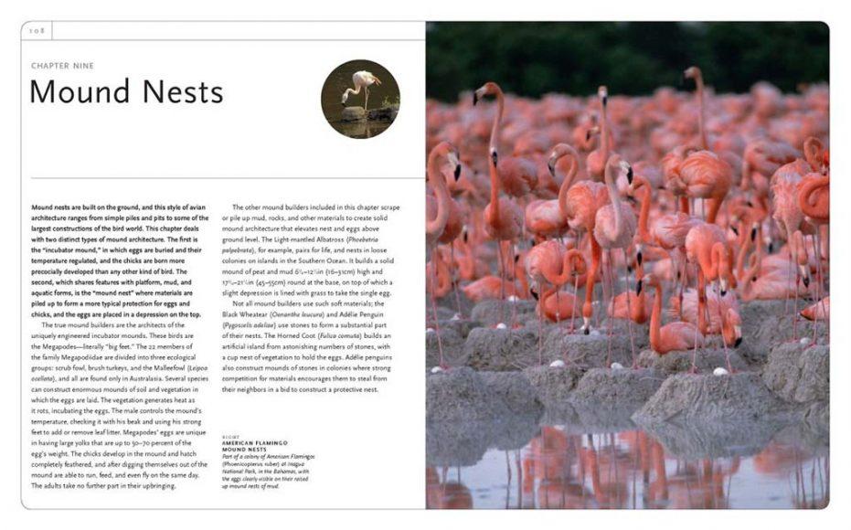 Nidi di fango dei fenicotteri (Phenicopterus ruber), un cumulo di fango di forma troncoconica, alto circa 30 centimetri e concavo alla sommità.