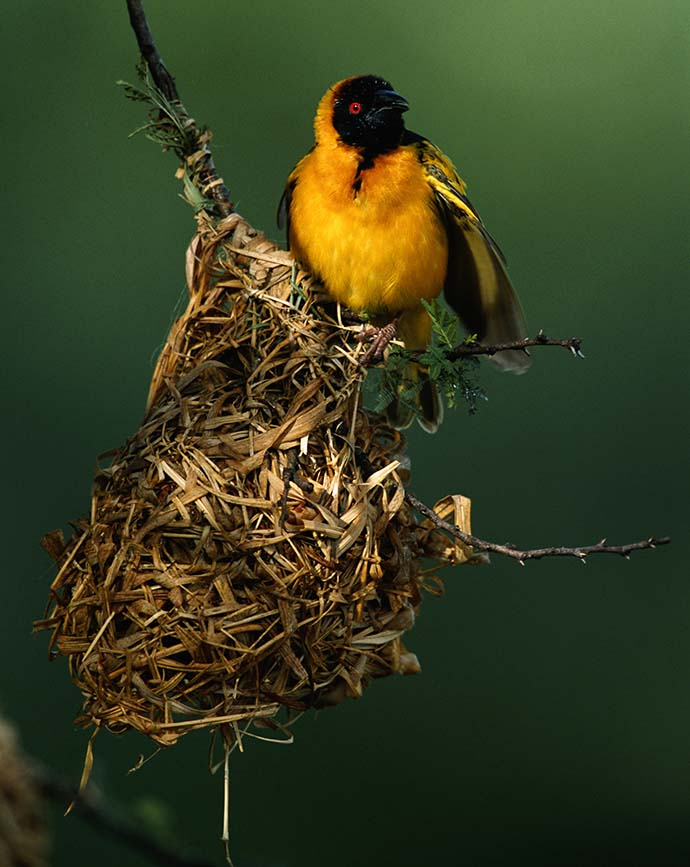 Masked weaver (Ploceus intermedius) in it's nest, close up, Masai Mara, Kenya