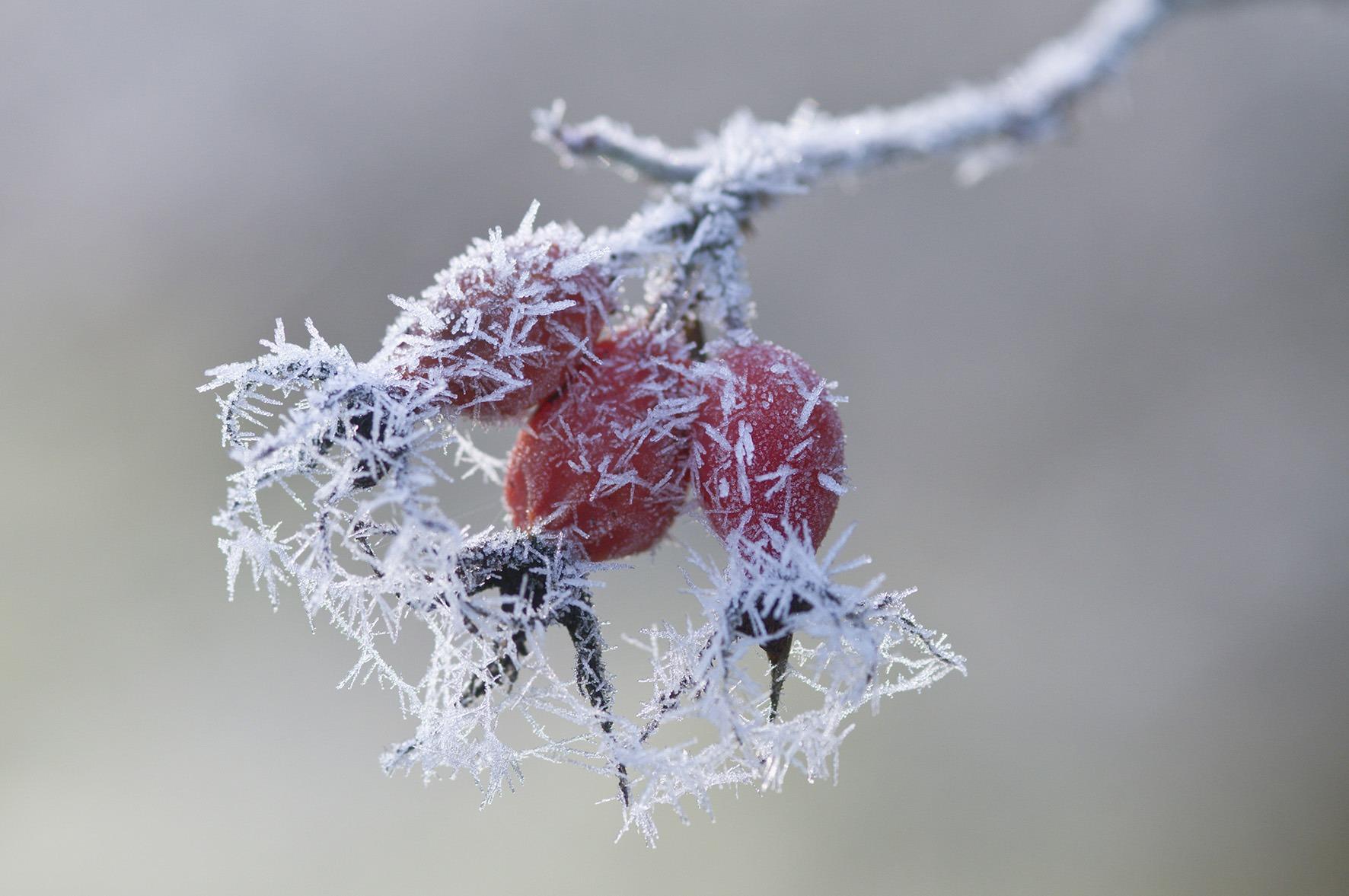 Con le prime gelate notturne i frutti della rosa canina maturano diventando teneri e morbidi, pronti per essere raccolti.