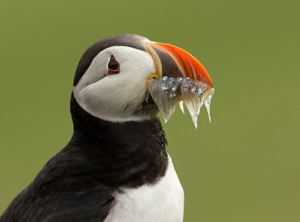 """Il becco delle pulcinelle è altamente adattato per mantenere una presa """"a velcro"""" sui pesci catturati sott'acqua."""