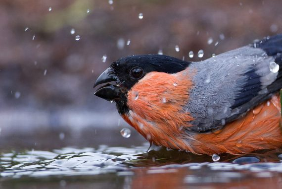 European Bullfinch
